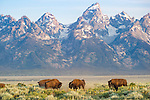 American Bison (Bison bison) herd with the Teton Mountains behind. Grand Teton National Park, Wyoming, USA. June