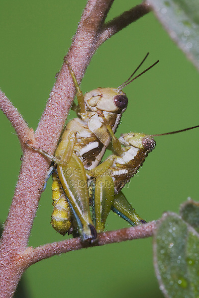 Grasshopper (Acrididae), pair mating, Sinton, Corpus Christi, Coastal Bend, Texas, USA
