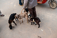A man leads baby goats for sale through the street market on Meena Bazar in the Chadni Chowk area of Delhi, India, on Tue., Dec. 11, 2018. In the background, Jama Masjid, one of India's largest mosques, can be seen.