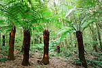 Tree Ferns, Mount Wilson, Blue Mountains, NSW