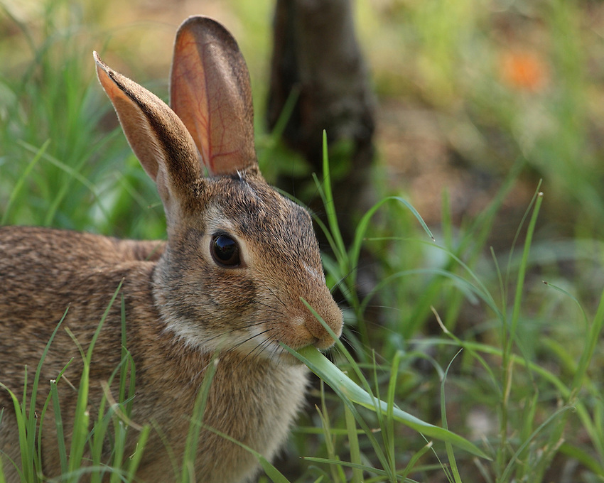 Texas Cottontail doin' what rabbits do.<br /> Early morning light
