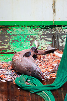 Greenland Shark, Somniosus microcephalus, bycatch from bottom trawl, Northern Barents sea, Arctic, North East Atlantic