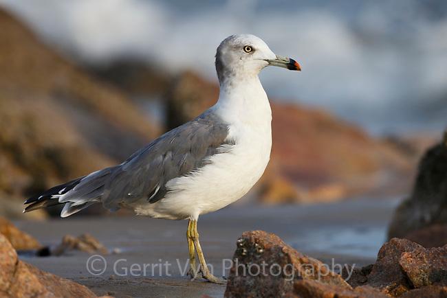 Black-tailed Gull (Larus crassirostris). Geum Estuary, South Korea. October.