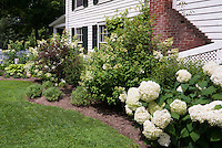 Different kinds of Hydrangeas in bloom along Colonial white classic house, mulched bed, lawn grass, purple leaved Physocarpus shrub, hostas, birdhouse, chimney, neat and tidy garden landscaping scene for backyard