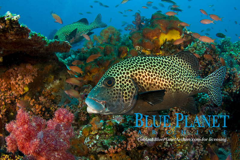 Harlequin Sweetlips, Plectorhinchus chaetodonoides, also called Many-spotted Sweetlips, Komodo National Park, Indonesia