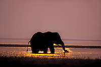 African Elephant feeding at sunset (Loxodonta Africana) Africa.