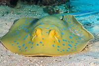 Blue-spotted ray, latin name Taeniura lymma, off Safaga coast, Red Sea, Egypt,
