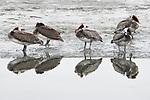 Brown Pelican (Pelecanus occidentalis) group on shore, Elkhorn Slough, Monterey Bay, California