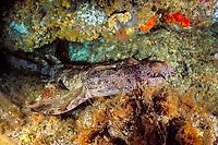 ornate or banded wobbegong or carpet shark, Orectolobus ornatus, Shag Rock, N. Stradbroke Island, near Brisbane, Queensland, Australia