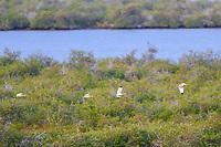 An American white ibis, Eudocimus albus, in the La Cruz estuary in Kino viejo, Sonora, Mexico. It is a kind of pelecaniform bird. birds, bird, birds. egret, heron ... (Photo: Luis Gutierrez / NortePhoto.com).<br /> <br /> Un ibis blanco americano, Eudocimus albus, en el estero La Cruz en Kino viejo, Sonora, Mexico. Es especie de ave pelecaniforme. aves, pajaro, pajaros. garceta, garza...(Photo: Luis Gutierrez / NortePhoto.com).