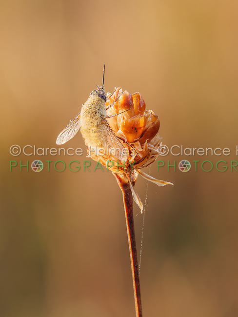 A dew covered Bee Fly (Anastoechus barbatus) perches on its overnight roost on a plant seed pod early in the morning.