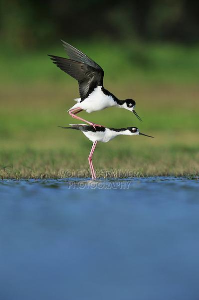 Black-necked Stilt (Himantopus mexicanus), pair mating, Dinero, Lake Corpus Christi, South Texas, USA