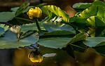 USA, Alaska, Glacier Bay National Park, Yellow Pond Lily(Nuphar polysepalum)