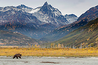 Alaskan Brown (Grizzly) Bears on Crescent River in Lake Clark National Park.  Fall - Autumn.  Alaska<br /> <br /> Photo by Jeff Schultz/  (C) 2019  ALL RIGHTS RESERVED<br /> <br /> Bears Moose Fall Color 2019 photo tour