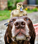 Dog befriends duckling