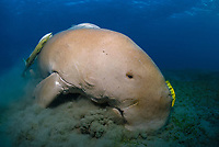 Dugong, Sea Cow, feeding on the shallow sea grass field, Egypt, Red Sea, Indian Ocean