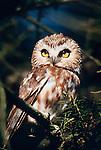 Northern saw-whet owl on douglas fir, Washington