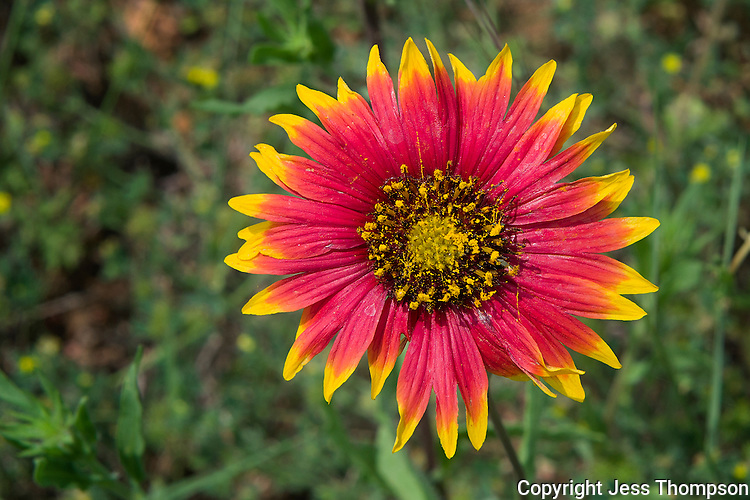 Indian Blanket wildflower, Llano, Texas