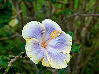 Yellow fringed lavender hibiscus flower on Maui.
