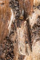 Putris-Erdeule, Putris-Eule, Putriserdeule, Putriseule, Gebüschflur-Bodeneule, Erdeule, Axylia putris, Agrotis putris, Rhyacia putris, The Flame, flame moth, Eulenfalter, Noctuidae, noctuid moths, noctuid moth