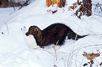 FISHER & SNOWSHOE HARE.  Winter. Rocky Mountains.  (Martes pennanti).