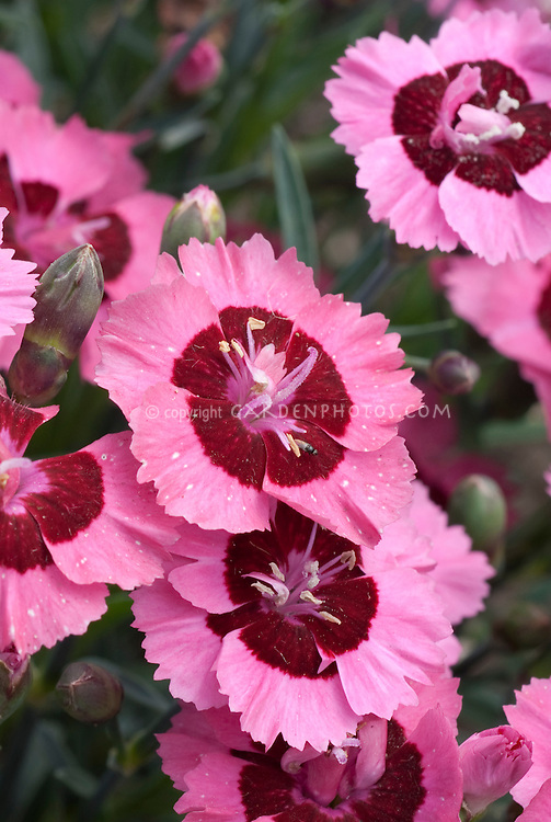 Pink and red flowers of Dianthus Evening Star