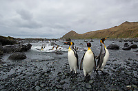 King Penguin (Aptenodytes patagonicus), adults at Sandy Bay, Macquarie Island, Australia.