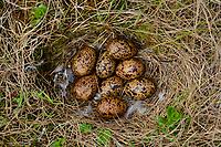 Willow Ptarmigan (Lagopus lagopus) nest and eggs. Yukon Delta National Wildlife Refuge, Alaska. June.