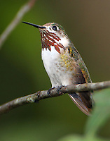 Adult male caliope hummingbird