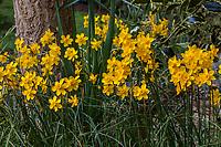 Narcissus jonquilla, jonquil, rush daffodil, yellow flowering bulb in California garden