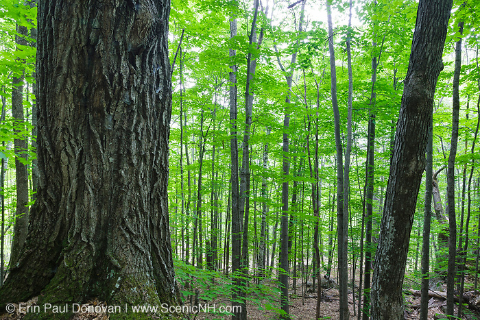 Semi - rich oak - sugar maple forest on Cave Mountain in Bartlett, New Hampshire during the summer months.
