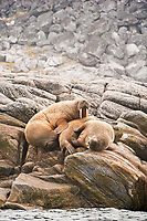 Atlantic walrus, Odobenus rosmarus, hauled out on rocks, Baffin Island, Nunavut, Canada, Arctic Ocean