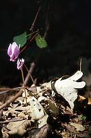 Fiori. Flowers. Ciclamino. Cyclamen.....