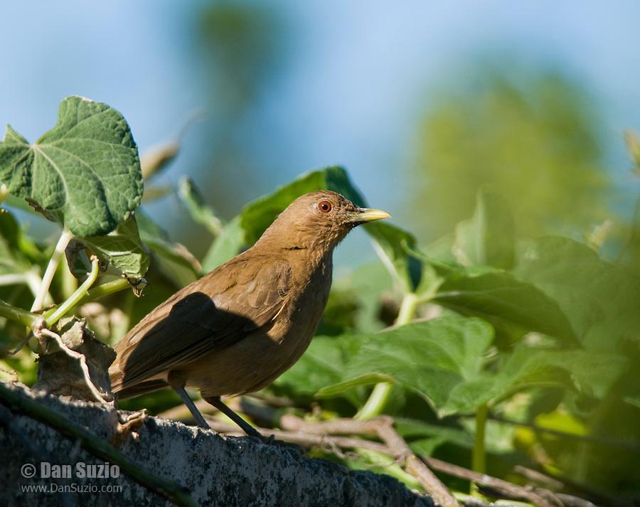 Clay-colored robin or thrush, Turdus grayi, the national bird of Costa Rica. Hotel Bougainvillea, San Jose, Costa Rica