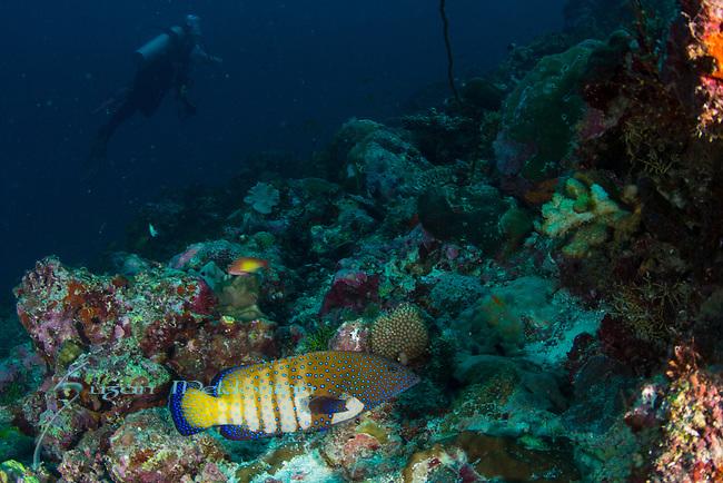 Peacock grouper, pale phase, Cephalopholis argus, Maldives, Maldives underwater