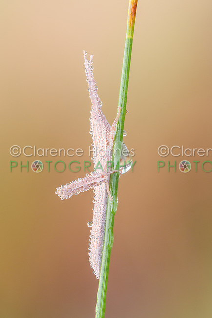 A slender dew-covered immature Toothpick Grasshopper (Mermiria Group) perches on a blade of grass.