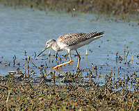Adult greater yellow legs in non-breeding plumage