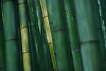 Beautiful Bamboo forest in deep green colors lit by morning light, abstract culms of bamboos in Arashiyama, Kyoto, Japan. Image © MaximImages, License at https://www.maximimages.com