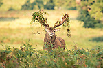 Pictured: The stag with the impressive hairdo<br /> <br /> This stag holds his antlers high as he proudly displays an outlandish new look.   During the annual rutting period male deer put on elaborate displays of dominance and spend time scraping their antlers through undergrowth, sometimes collecting bracken and ferns.<br /> <br /> Red deer stags often lock horns with competitors and roar as they bid to become the dominant stag, ensuring exclusive mating with the hinds.   The photographs were taken at Woburn Estate Deer Park, in Bedfordshire, by David Gowing.   SEE OUR COPY FOR DETAILS<br /> <br /> Please byline: David Gowing/Solent News<br /> <br /> © David Gowing/Solent News & Photo Agency<br /> UK +44 (0) 2380 458800