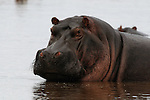 Cooling off - Hippos in Africa