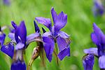 Blue Flag Irises in Bloom in Connecticut