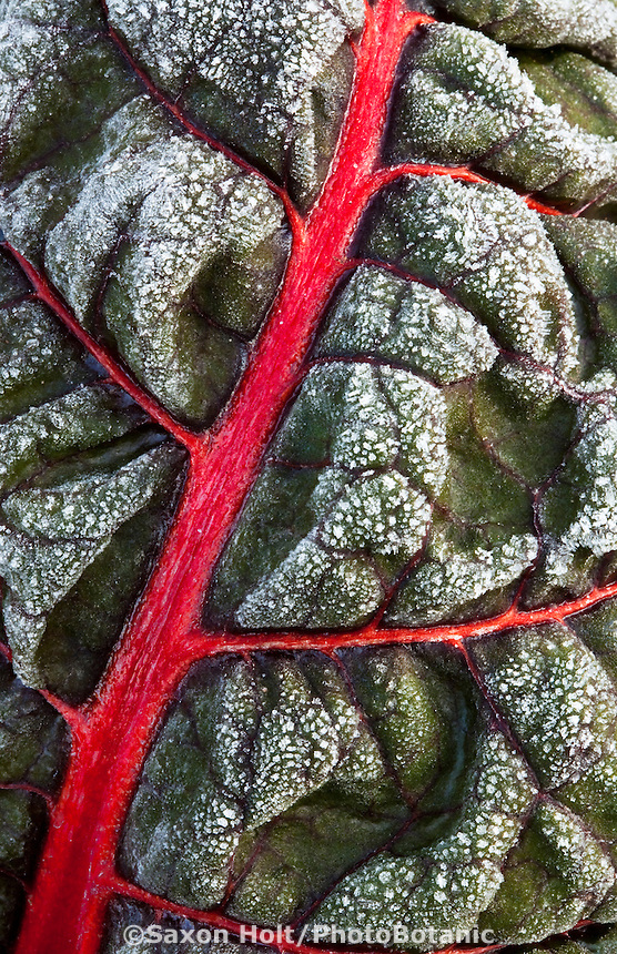 Frost on Ruby Red Chard leaf with red stem in LynMar Winery edible winter garden