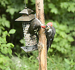 Female pileated woodpecker feeding young male
