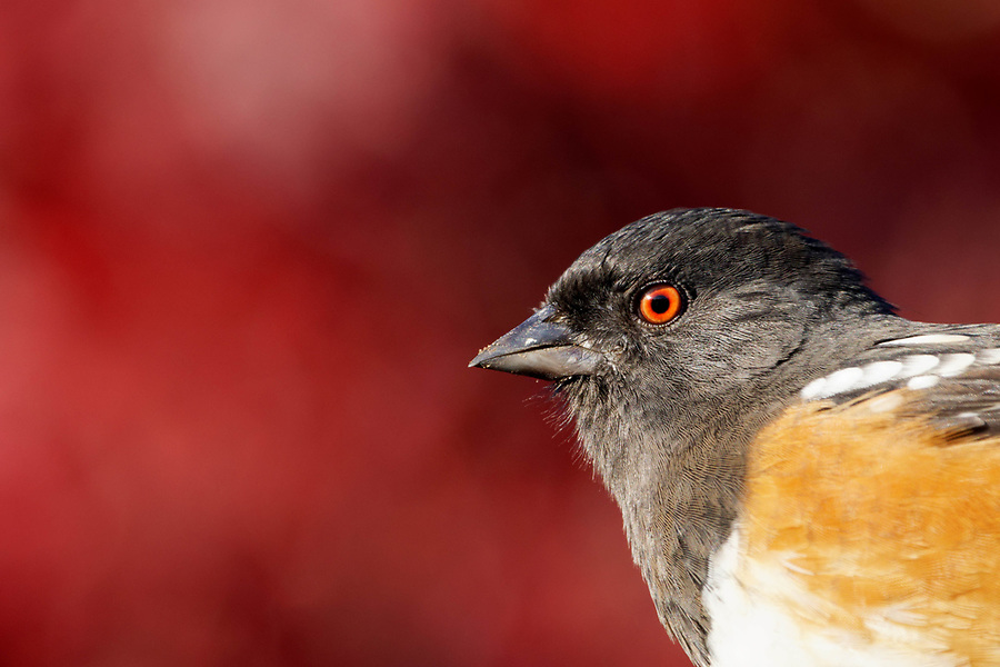 Spotted Towhee (Pipilo maculatus) perched on branch, autumn colors in background, Snohomish, Washington, USA
