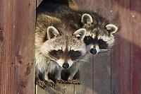 Raccoons (Procyon lotor), Germany, Europe