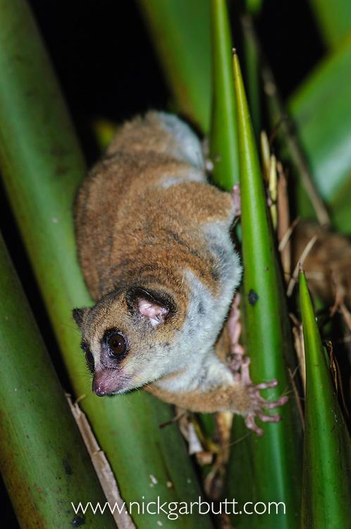 Adult Crossley's Dwarf Lemur (Cheirogaleus crossleyi) in rainforest canopy at night. Mantadia National Park, Madagascar.