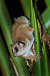 Adult Crossley's Dwarf Lemur (Cheirogaleus crossleyi) in rainforest canopy at night. Mantadia National Park, Madagascar.