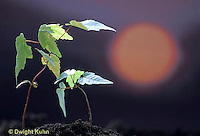 MP10-003e  Phototropism - red maple bending to sun