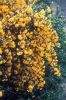 Berberis stenophylla in flower