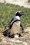 African Penguin With Two Eggs